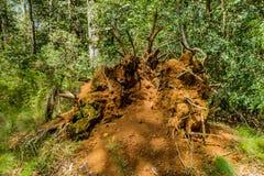 Il nido della formica nella foresta Fotografie Stock