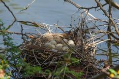 Il nido della gallinella d'acqua comune con le uova Fotografia Stock Libera da Diritti