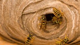 Il nido della vespa Fotografia Stock
