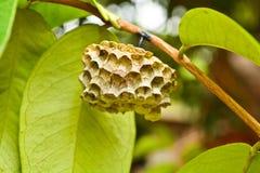 Il nido della vespa sui rami Fotografia Stock