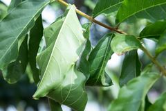 Il nido di Ants's stava usando dalle foglie dell'albero Fotografia Stock Libera da Diritti