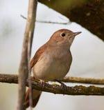 Il Nightingale Immagini Stock