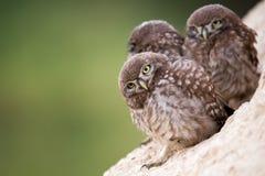 Il noctua delle atene della civetta di tre giovani sta vicino al suo foro Fotografia Stock