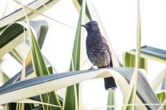 Il nome del ` s dell'uccello è uccello di Bulbul fotografie stock libere da diritti