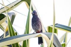 Il nome del ` s dell'uccello è uccello di Bulbul fotografia stock