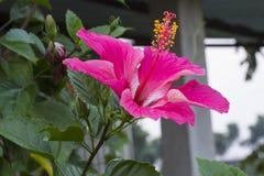Il nome di questo fiore è gelsomino immagini stock