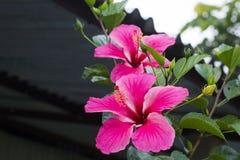 Il nome di questo fiore è Jabha fotografia stock