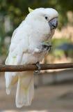 Il nome scientifico di Cockatoo.The è Cacatua Vieillot. Immagini Stock Libere da Diritti