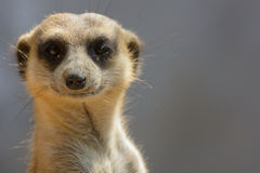 Il nome scientifico di Meerkat.The è suricatta del Suricata. Fotografie Stock Libere da Diritti