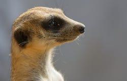 Il nome scientifico di Meerkat.The è suricatta del Suricata. Fotografia Stock Libera da Diritti