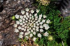 Il nome scientifico di questa pianta ? heracleum sphondylium immagini stock libere da diritti