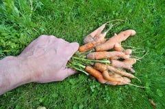 Il nonno anziano dell'agricoltore solleva la sua mano dal mazzo dell'erba Fotografia Stock Libera da Diritti