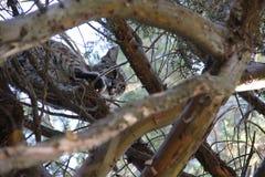 il Nord del Dakota del gatto selvatico dei calanchi ha fotografato l'albero fotografie stock libere da diritti