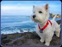 Il nostro Westie (Annie) alla baia Oregon del deposito Immagine Stock