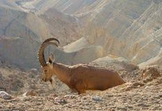 Il nubiana della capra dello stambecco di Nubian nel deserto di Negev immagini stock