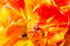 Il nucleo ed i petali di un tulipano giallo-rosso fotografie stock