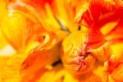Il nucleo ed i petali di un tulipano giallo-rosso immagine stock libera da diritti