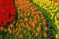 Il numeroso tulipano accessibile al pubblico di colore sistema in fioritura nei giardini olandesi di Keukenhof della molla fotografia stock
