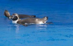 Il nuoto africano di demersus dello Spheniscus del pinguino sotto l'acqua blu immagine stock