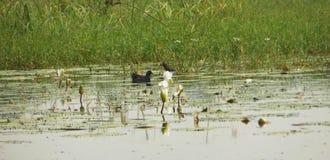 Il nuoto comune selvaggio della gallinella d'acqua nel lago con loto di fioritura sboccia fotografia stock