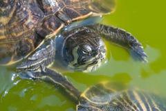 Il nuoto con le orecchie rosse di vista di fine del cursore nel suo habitat fotografia stock libera da diritti