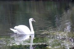 Il nuoto del cigno sulla a gradisce Fotografie Stock