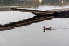 Il nuoto del ` s dell'anatra dal bacino Fotografia Stock