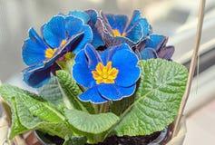 Il obconica della primula mi tocca, blu con i fiori gialli, permesso di verde Fotografia Stock