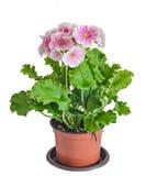 Il obconica della primula mi tocca, rosa con i fiori bianchi in un vaso da fiori Immagine Stock