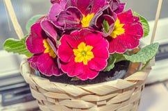 Il obconica della primula mi tocca, rosso scuro con i fiori gialli Immagine Stock Libera da Diritti