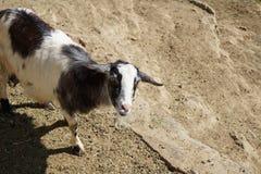Il obtient ma chèvre Images stock