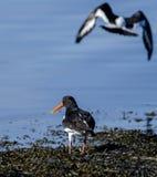 Il Oystercatcher euroasiatico Fotografia Stock Libera da Diritti