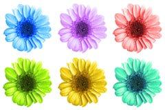 Il pacchetto del crisantemo colorato fiorisce la macro isolato immagine stock
