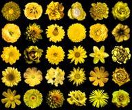 Il pacchetto mega di giallo naturale e surreale fiorisce 30 in 1 isolato Immagini Stock