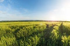 Il paesaggio è un giacimento di grano al tramonto, una campagna in Ucraina Immagini Stock