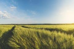 Il paesaggio è un giacimento di grano al tramonto, una campagna in Ucraina Immagini Stock Libere da Diritti