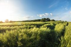 Il paesaggio è un giacimento di grano al tramonto, una campagna in Ucraina Fotografia Stock Libera da Diritti