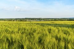 Il paesaggio è un giacimento di grano, una campagna in Ucraina Immagini Stock