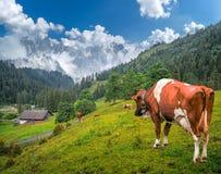 Il paesaggio alpino con il pascolo le mucche e della montagna impressionante completa, la Svizzera Fotografia Stock