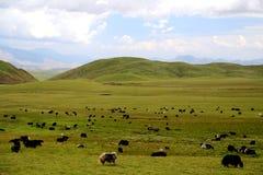Il paesaggio alpino del pascolo sul plateau di Qinghai Tibet Immagine Stock