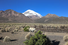 Il paesaggio andino con il gregge dei lama Immagini Stock