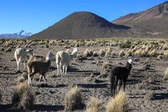 Il paesaggio andino con il gregge dei lama Fotografia Stock Libera da Diritti