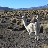 Il paesaggio andino con il gregge dei lama Immagini Stock Libere da Diritti