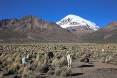 Il paesaggio andino con il gregge dei lama Immagine Stock