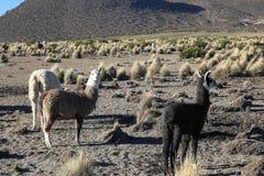 Il paesaggio andino con il gregge dei lama Fotografia Stock