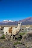 Il paesaggio andino con il vulcano di Prinacota, Bolivia Fotografie Stock