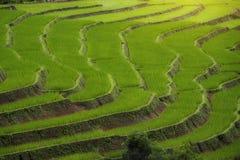 Il paesaggio coltiva il riso Fotografia Stock Libera da Diritti
