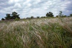 Il paesaggio con l'erba d'ondeggiamento della lancia fotografia stock libera da diritti