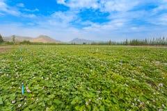 Il paesaggio dell'azienda agricola della patata dolce Immagini Stock Libere da Diritti