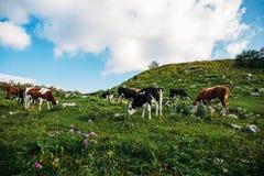 Il paesaggio dell'estate in alpi con le mucche che pascono sulla montagna verde pascola Immagine Stock